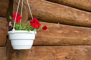 Red flower petunia in a white pot