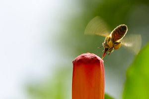 Honey bee pollinates red flower.