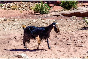 Brown Damascus Goat in the ancient city of Petra