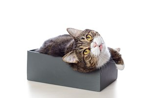Gray cat lying in a Shoe box