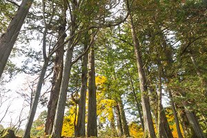 Pine trees in the fall color change.