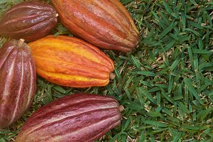 Colorful cocoa fruit pods