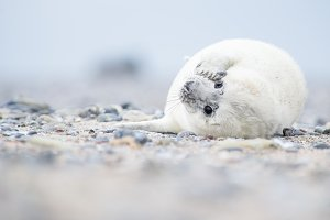 White baby grey seal