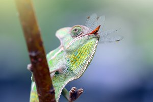 Chameleon Veiled Eat Dragonfly