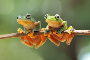 Two Wallace's Flying Frog On Twigs