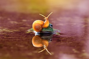 Dumpy Frog With Snail