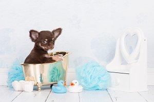 Chihuahua bathroom