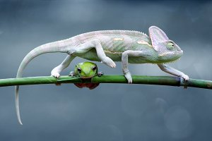 Chameleon Veiled with Dumpy Frog