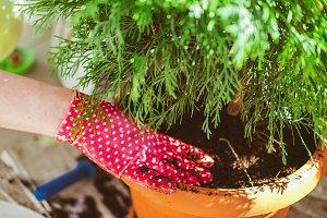 Woman gardener transplanting Thuja
