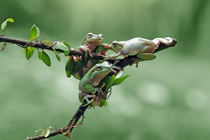 Three Frogs Above the Bough