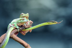 Two Dumopy Frog with Snake