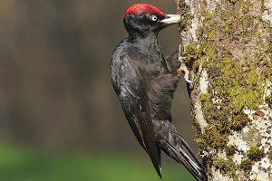 Black woodpecker.