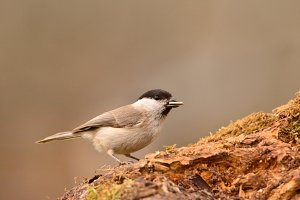 Marsh tit perched