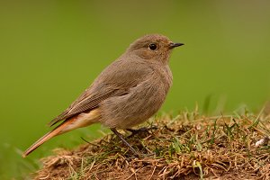 Female redstart