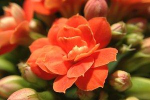 Red Kalanchoe Blossfeldiana