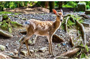 Young sika deer in Nara Park