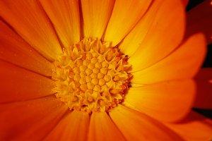Macro orange flower