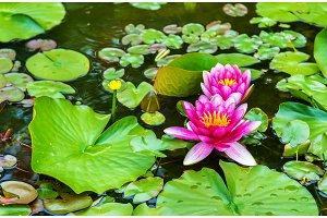 Water lily of Koko-en garden in Himeji