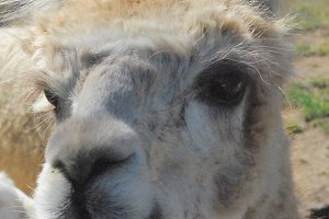 Close of Llama's Face