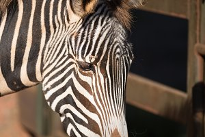 Close up view of a Zebra