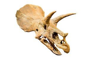 Triceratops Fossil skull over white