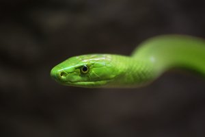 Green Mamba close up portrait