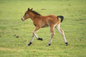 Foal running on the meadow