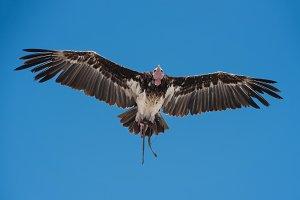Vulture in Bird show exhibition