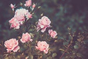 Bush, Roses, Retro style