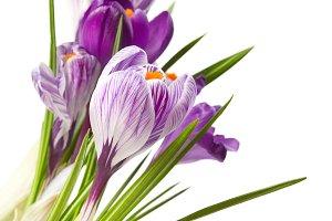 snowdrops flower