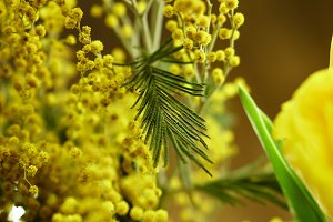 Bouquet of mimosa close-ups