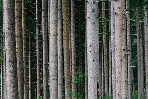 Pattern of trunks of pine trees in the forest