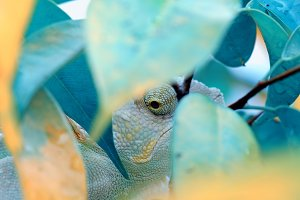 Chameleon Lurking Behind The Leaf
