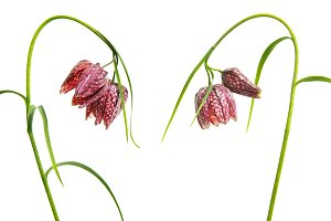 Fritillary flowers