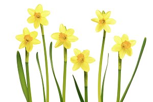 Daffodils on white