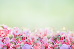 Banner with pink pale blossom