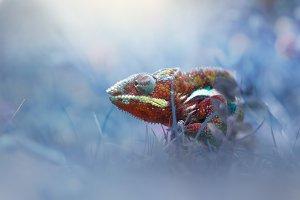 Chameleon Phanter