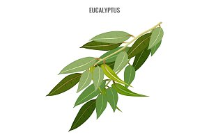 Useful fragrant eucalyptus branch with thick green foliage