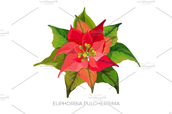 Euphorbia Pulcherrima Plant With Red And Green Leaves