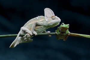Chameleon with Frog