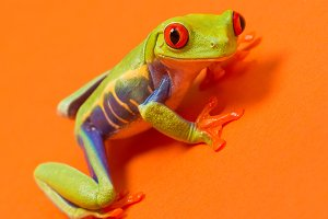 Red eye tree frog orange
