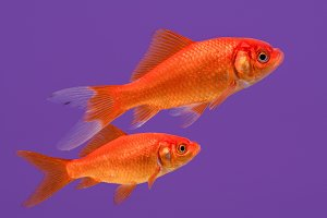 Goldfish in purple
