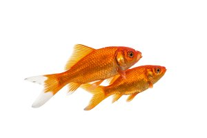 Two goldfish on white