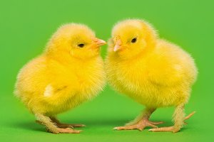 Two chicks on green