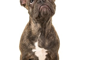 Funny French bulldog looking up
