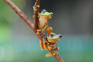 Tree Frog Flying Frog Wallace Frog