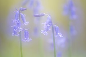 Blue bells dream