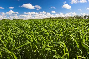 Green grain field, sky background