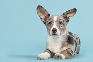 Corgi puppy in blue