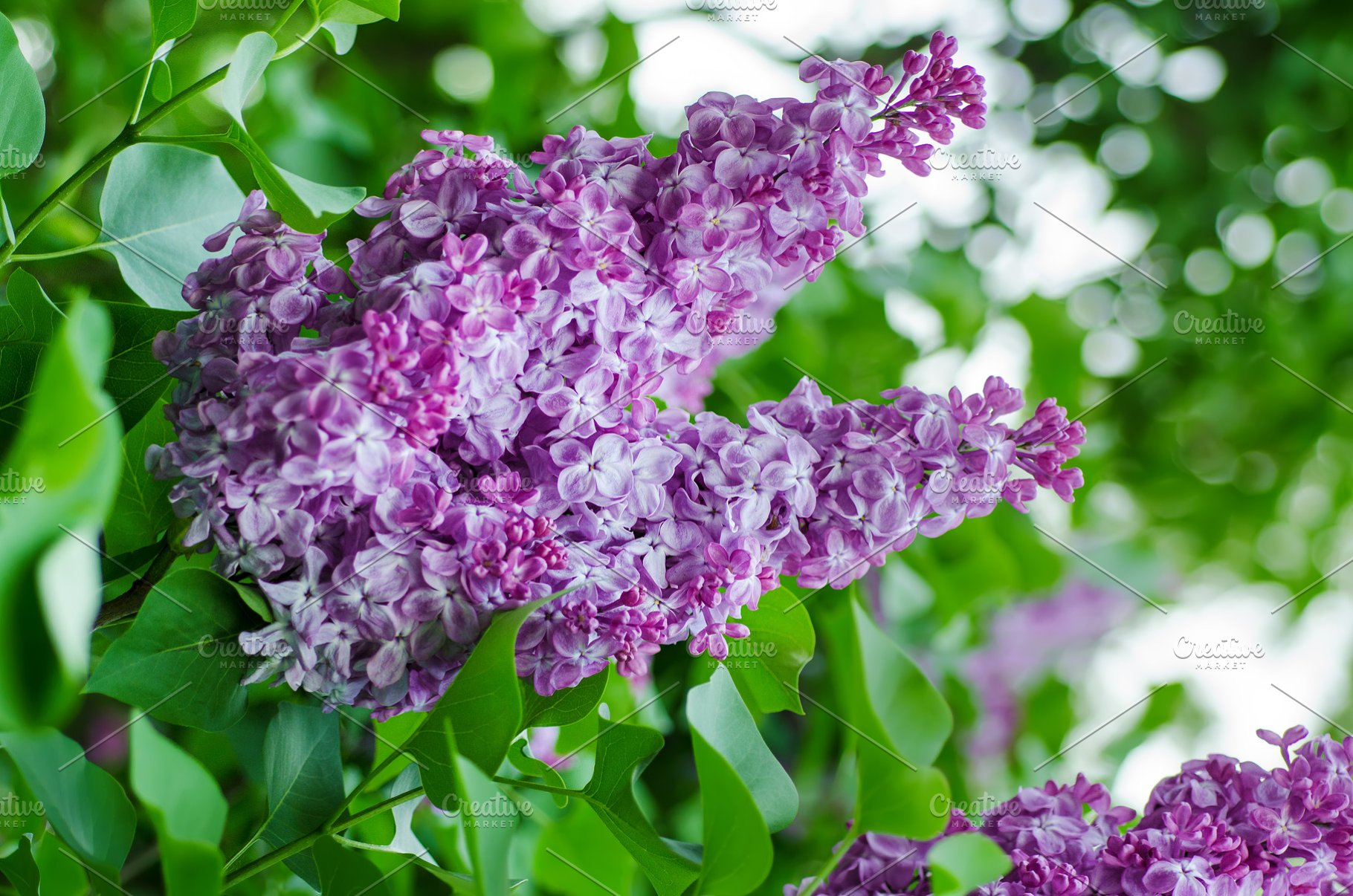Spring Lilac Flowers High Quality Nature Stock Photos Creative